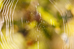 ** (Norbert Krlik) Tags: morning macro colours bokeh web canoneos5d kenkoextensiontube canonef85mmf18usm