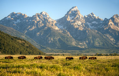 Morning run in the Tetons (Deby Dixon) Tags: morning travel mountains tourism nature wildlife adventure rockymountains wyoming tetons bison deby allrightsreserved 2012 bisonherd grandtetonnationalpark thegrand mormonrow debydixon debydixonphotography runningbison