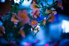 Evening Serenity (moaan) Tags: life leica flower digital 50mm evening twilight flora dof bokeh dusk f10 september utata flowering noctilux trumpetvine 2012 m9 trumpetcreeper inlife leicanoctilux50mmf10 leicam9