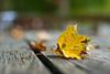 321/365 [Explored] (Bradley Nash Burgess) Tags: autumn fall leaves 35mm project season leaf nikon dof seasons 365 nikkor f18 afs dx project365 d80 nikond80 365project nikonafsdxnikkor35mmf18