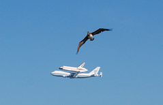 Endeavour vs Pelican (spectacimage) Tags: sanfrancisco plane aviation flight pelican shuttle sanfranciscobay spaceshuttle forcedperspective flyover spacecraft endeavour sfendeavour2012