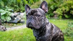Bob (marcusholmqvist) Tags: french bulldog dog fransk hund chien perro sommar summer pet pets portrait portrtt