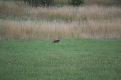volpe (psychodogs) Tags: fox wilderness wild selvatico colpe fauna abruzzo prato attenzione sensi