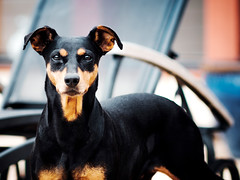 X200 - Smland - Akira WEB (manuel ek) Tags: akira dog perro hund pinscher germanpinscher mellanpinscher portrait bokeh konica konicahexanon 200mm f35 wideopen manuelekphoto fuji fujifilm xt1