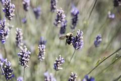 Bumble Bee on Lavender (Nick - n2photography) Tags: flower color bee lavender canon5dsr washington sanjuanislands 2470mm28ii bokeh bokehlicious purple