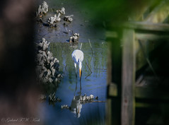 Tangled Reflection (Gabriel FW Koch) Tags: outdoor reflection beautiful beauty animal bird egret whiteegret water shells shellfish oysters mollusks wild marsh wildlife nature legs bill eating outside eos dof natural inlet creek canon telephoto sigma