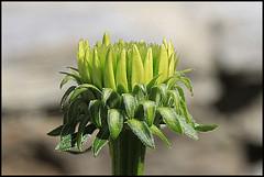 Sboccia una vita (ninin 50) Tags: germoglio nature fiore ninin