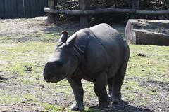 Indische Neushoorn, Planckendael (B) (wimjee) Tags: planckendael zoo dierentuin animal belgië mechelen indische neushoorn indischeneushoorn