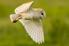 Close-up (jammo s) Tags: barnowl owl tytoalba wildowl birdofprey bif birdinflight wildbarnowl flying hunting nature wildlife canoneos80d canonef400mmf56lusm