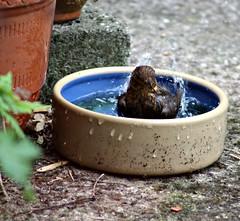 Enthusiastic Ablutions  :) (Donna JW) Tags: picmonkey turdusmerula blackbird fledgling bathing splashing songbird