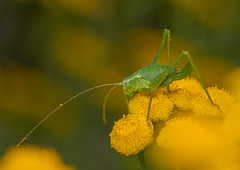 Speckled Bush Cricket (Leptophyes punctatissima) (markhortonphotography) Tags: cricket loseleypark surrey walledgarden macro orthoptera leptophyespunctatissima speckledbushcricket flower loseleyhouse tansy markhortonphotography insect yellow thatmacroguy invertebrate