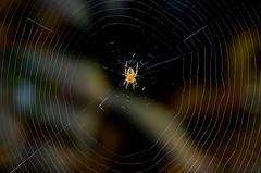 eine Spinne wartet auf Beute (Jan Wasmund) Tags: spinne spider netz net weben gewoben warten beute fliegen insekten arachno arachnide arachnophobie drausen outdoor pentax k50 bokeh insects arachnophobia