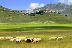 The flock (annalisabianchetti) Tags: flock gregge pecore animals paesaggio landscapes castellucciodinorcia umbria