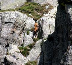 acrobate (b.four) Tags: chamois camoscio empuonrame gordolasque hautevésubie alpesmaritimes ruby3 ruby10