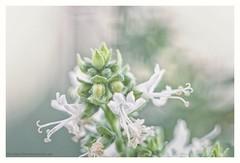 Basil (s1nano) Tags: 36mm12mm20mmextension kenkodgextensiontubes pentacon135mm128 f45 flower white basil bokeh green bokehmonster nikond7000