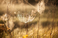 Spider parachute (xkolba) Tags: spider nature plant bokeh outdoor takumar 50mm f14 autumn smctakumar50mmf14 m42 sunrise web spiderweb depthoffield