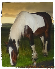 The horse (Ghatahora Photography) Tags: bhupinderghatahora capturenx2 ghatahoraphotography pamberforestpamber cloudstreessunset cyanotypestonning landscapes naturetreebwcloseup sunriselakeslakedistrict