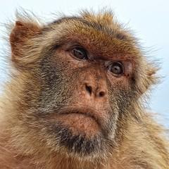 Barbary Ape (amhjp) Tags: fuengirola fuengirolabioparc zoo animalpark wildanimal animal ape amhjpphotography amhjp nikon nikondslr nikond3200 wildlife barbaryape spain espagne