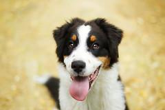 Mango (Juliette Plus) Tags: dog puppy cute aussie bokeh autumn explore inexplore light