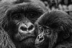 Mother and baby gorilla (RayMuzyka) Tags: sony ilce7rm2 70400mm f456 g ssm gorillas