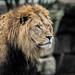 The Lion!