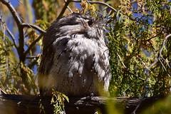 Alone again (Luke6876) Tags: tawnyfrogmouth frogmouth bird animal wildlife australianwildlife