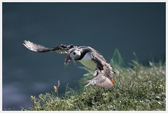 fish of the day (i.v.a.n.k.a) Tags: ivanadorn ivanahesova sonyalpha iceland puffins flight birds papeyisland