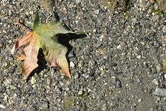 Maple leaf, Horseshoe Bay (dylan583) Tags: sonydslra700 sonya700 sonyalpha sony sigmalens sigmadc281770hsmos 1770 sea seaside britishcolumbia canada leaf closeup