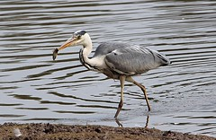 The Grey Heron having breakfast (Bogger3.) Tags: greyheron venuspool catchingfish canon600d tamron150x600lens coth5