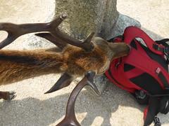 Pesky deer on Miyajima-2 (Stop carbon pollution) Tags: japan  honshuu  hiroshimaken  miyajima