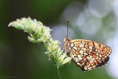 Twin-spot fritillary (ildiklaskay) Tags: macro insect insekt insecte rovar butterfly schmetterling falter papillion lepke brenthishecate twinspotfritillary nacrdelafilipendule saumfleckperlmuttfalter rozsdaszngyngyhzlepke gyngyhzlepke hungary