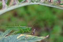 Grande sauterelle verte (mignon.jacques) Tags: insecte sauterelle entomologie tettigonia tettigoniidae orthoptera