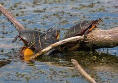 Eastern Painted Turtles (sbuckinghamnj) Tags: turtle easternpaintedturtle paulinskilwma hyperhumus newjersey reptile