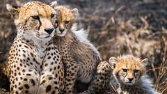 Guépards en Tanzanie - Cheetah in Tanzania