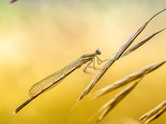 Federlibelle (Platycnemididae) (gerry_me) Tags: libelle federlibelle makro insect damselfy kleinlibelle dragonfly platycnemididae olympus omdem1 macro fluginsekt