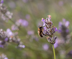 Gathering (darrenleck) Tags: insect macro nature sunshine lavender flower flora