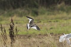 Sabine's Gull juv (Baractus) Tags: sabines gull juvenile john oates christopher cadbury reserve upton warren worcestershire uk wildlife trust