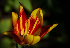 In Flames (Harald52) Tags: tulpe blte blume garten park natur rot gelb