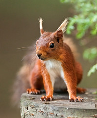 Tufts!!       (Red Squirrel) (marsch1962) Tags: face squirrel wildlife spock tufts grubby nationalgeographic redsquirrel