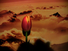 ART-Tulip , 52-11/1234 (roba66) Tags: plants flores flower art fleur flora blossom flor pflanzen blumen tulip blume tulpe bloem blten flori effecte roba66 blumenorosen effekteaquarelle