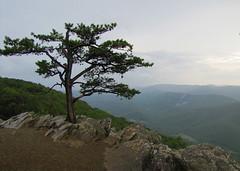 Raven's Roost, on a Rainy Afternoon (tcpix) Tags: tree virginia view overlook blueridgeparkway ravensroost