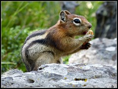 Golden-mantled ground squirrel (Suzanham) Tags: nature animal squirrel wildlife goldenmantledgroundsquirrel thegalaxy intouchwithnature fantasticnature absolutelyperrrfect