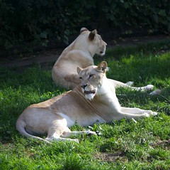 The White Lioness' (Vonnie red) Tags: paradisewildlifepark canonef70200mmf28lis