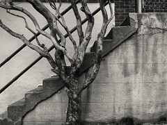 (Blinking Charlie) Tags: seattle blackandwhite bw usa tree wall concrete blackwhite steps stairway railing washingtonstate 2012 queenannehill knarled thecounterbalance blinkingcharlie queenanneavenuen castlecourtapartments