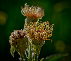 Sparkel,s in the morning. (Omygodtom) Tags: morning mist macro art rain oregon nikon bokeh tamron 90mm sparkel