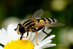 Zweefvlieg (ditmaliepaard) Tags: soe zweefvlieg macromarvels inmijntuin 50mm2tussenringen