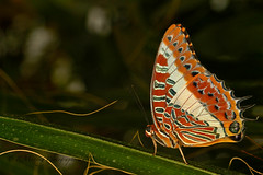 Malay Lacewing (In10ctee) Tags: macro butterfly wings butterflyworld malaylacewing monong august2012 ronaldmonong in10ctee
