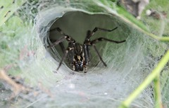 Funnel-Web Spider (Paris Images) Tags: pa valleyforge funnelwebspider betzwood