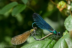 beautiful demoiselles on bramble (serenity for ODC) (devonteg) Tags: male wheel garden pond nikon heart august serenity mating damselflies 2012 bramble odc beautifuldemoiselle calopteryxvirgo feamle d7000 naturesgreenpeace giveusyourbestshot ourdailychallenge nikkor105f28mmgvrmicro onephotomonthaugust 522012week34