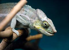 Look Me in the Eye (romainguy) Tags: portrait macro eye animal closeup reptile highqualityanimals